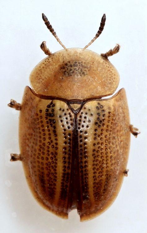 Cassida nobilis