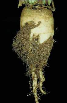Repina nematoda - bradatost korena