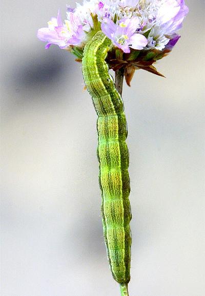 Heliothis maritima - gusenica
