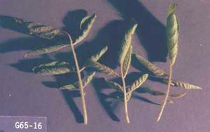 Myzus varians-steta
