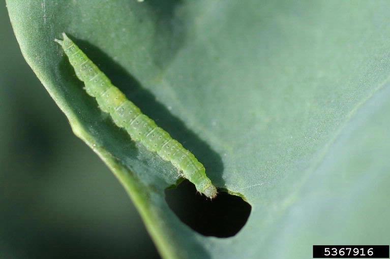 kupusni moljac - gusenica