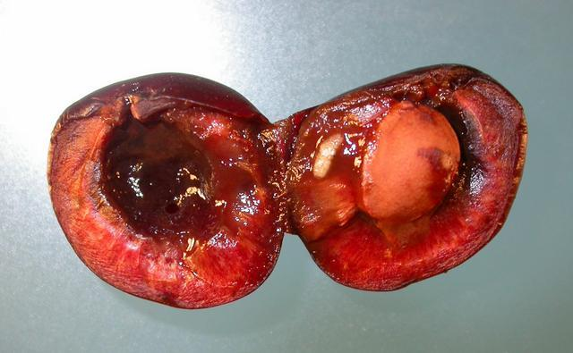 larva u plodu