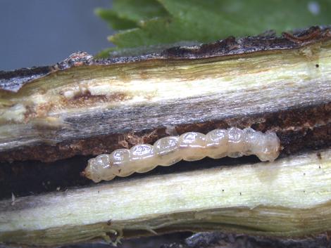 larva u stablu