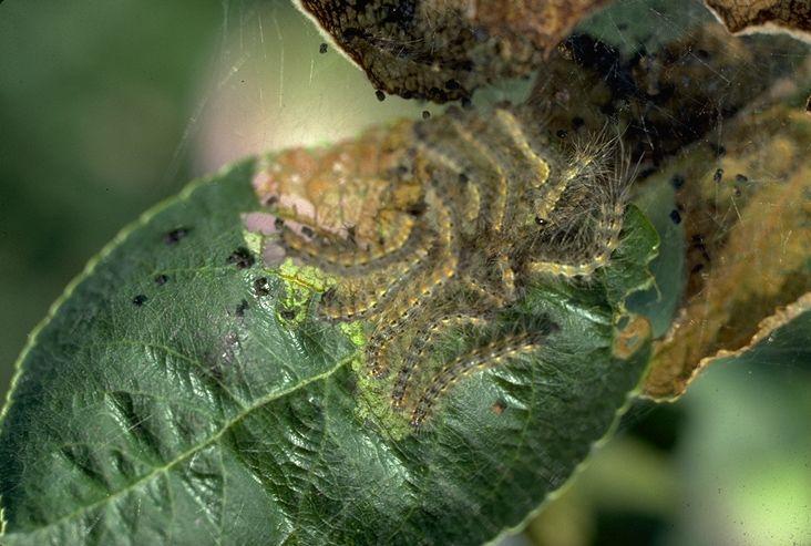 Šteta na listu od gusenice