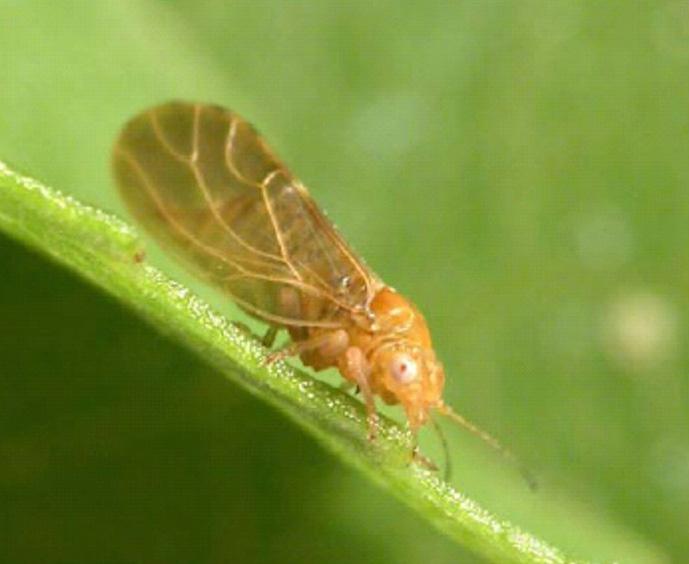 Cacopsylla pruni