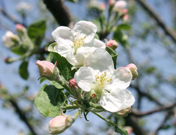 Cvetanje