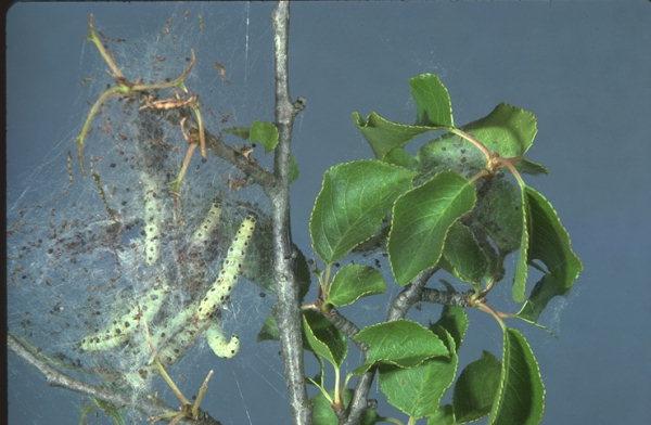 Jabučni moljac štete na listu