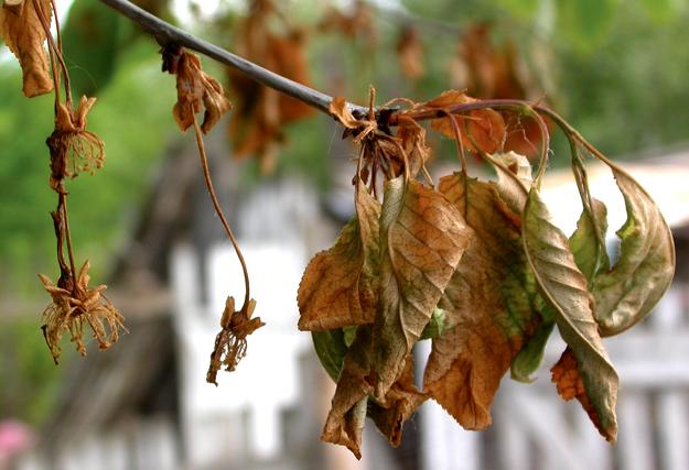 Simptomi na cvetovima i grančicama višnje