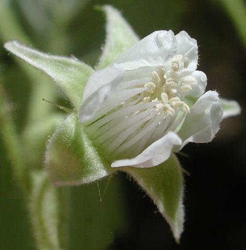 Cvet maline