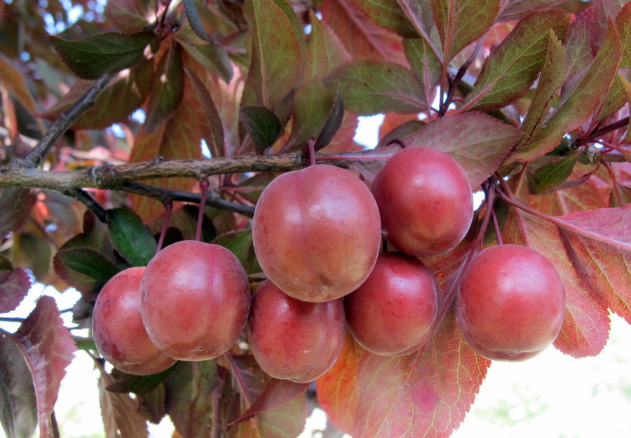 Prunus cerasifera Ehrh.