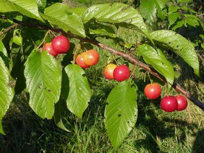 Prunus hortulana Bailey