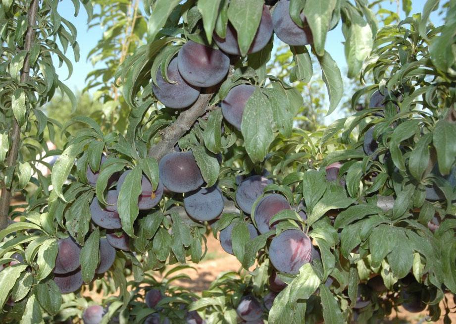 Prunus salicina Lindl.