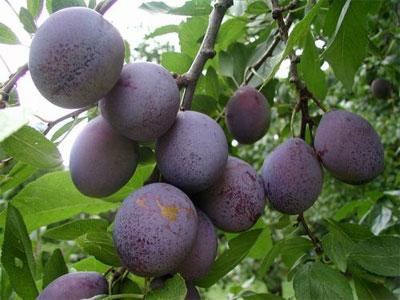 Prunus ussuriensis
