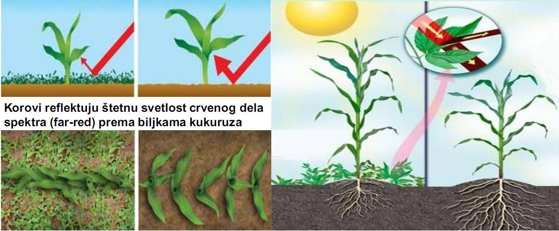 Uticaj korova na kukuruz