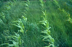 Korov u kukuruzu