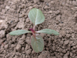 Amaranthus retroflexus BBCH 12