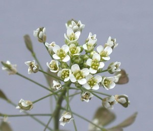 Capsella bursa-pastoris BBCH 65