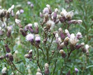 Cirsium arvense BBCH 81
