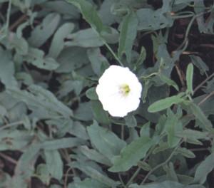 Convolvulus arvensis BBCH 65_2
