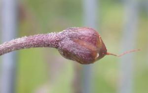 Convolvulus arvensis BBCH 85