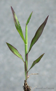 Digitaria sanguinalis BBCH 34