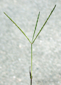 Digitaria sanguinalis BBCH 65