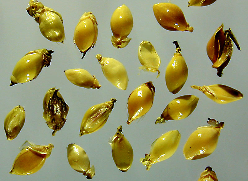 Echinochloa crus-galli BBCH 00