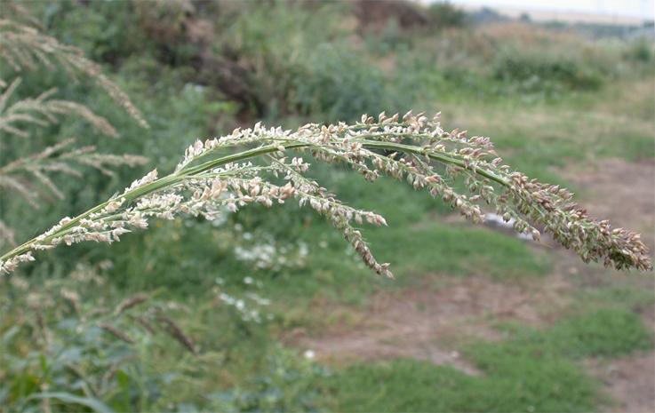 Echinochloa crus-galli BBCH 89
