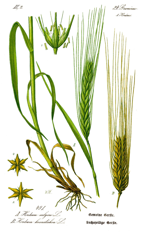 Ječam (Hordeum vulgare L., sin. Hordeum sativum L.)