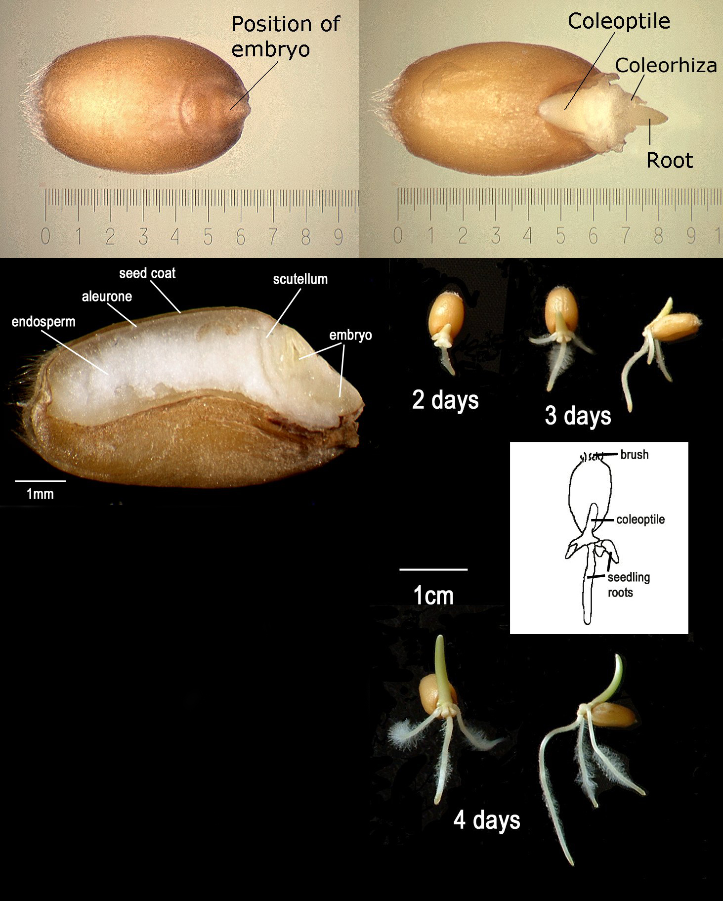 Klijanje semena pšenice