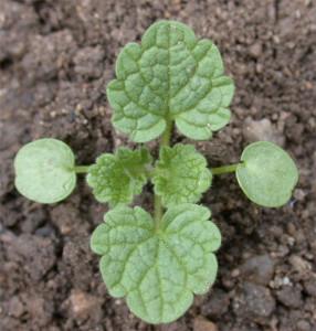 Lamium purpureum BBCH 14