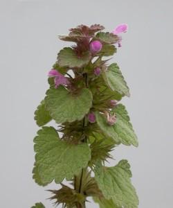 Lamium purpureum BBCH 67