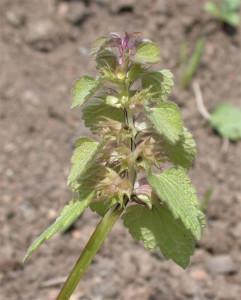 Lamium purpureum BBCH 81
