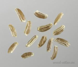 Matricaria chamomilla BBCH 00