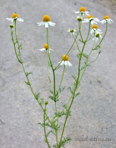 Matricaria chamomilla BBCH 65_2