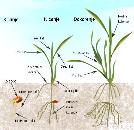 Morfologija pšenice