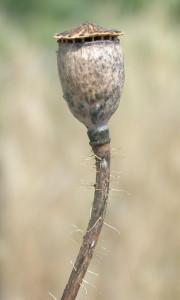 Papaver rhoeas BBCH 97