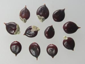 Polygonum persicaria BBCH 00
