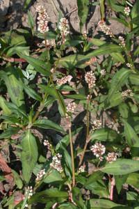 Polygonum persicaria BBCH 65_2