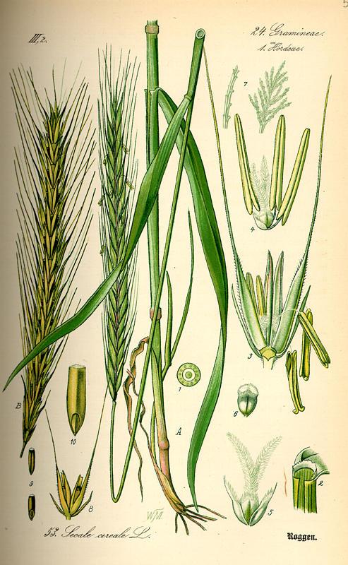 Raž - Secale cereale L.