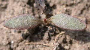 Rumex obtusifolius BBCH 10