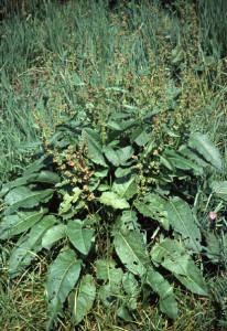 Rumex obtusifolius BBCH 69