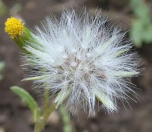 Senecio vulgaris BBCH 89