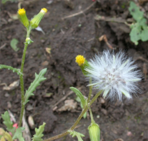 Senecio vulgaris BBCH 89_2