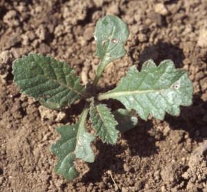 Sinapis arvensis BBCH 15