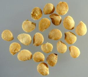Solanum nigrum BBCH 00