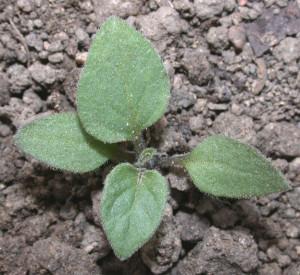 Solanum nigrum BBCH 12