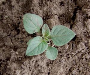 Solanum nigrum BBCH 15