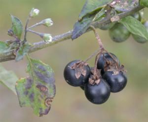 Solanum nigrum BBCH 89