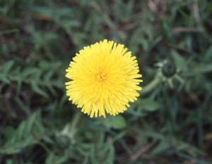 Taraxacum officinale BBCH 65